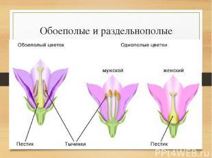 Обоеполые и раздельнополые цветки