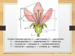 Схема строения цветка: 1 — цветоножка; 2 — цветоложе; 3 — околоцветник; 4 — чаше