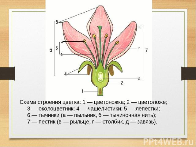 Схема строения цветка: 1 — цветоножка; 2 — цветоложе; 3 — околоцветник; 4 — чашелистики; 5 — лепестки; 6 — тычинки (а — пыльник, б — тычиночная нить); 7 — пестик (в — рыльце, г — столбик, д — завязь).