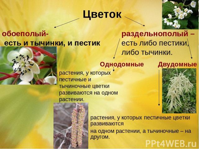 Цветок обоеполый- есть и тычинки, и пестик раздельнополый – есть либо пестики, либо тычинки. Однодомные Двудомные растения, у которых пестичные и тычиночные цветки развиваются на одном растении. растения, у которых пестичные цветки развиваются на од…