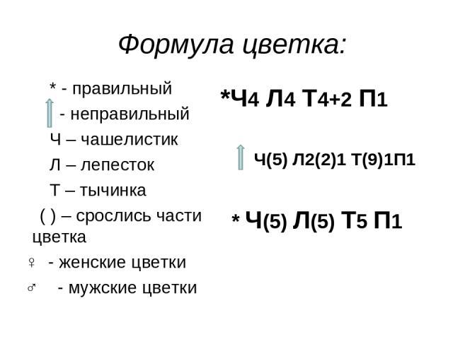 Формула цветка: * - правильный - неправильный Ч – чашелистик Л – лепесток Т – тычинка ( ) – срослись части цветка ♀ - женские цветки ♂ - мужские цветки *Ч4 Л4 Т4+2 П1 Ч(5) Л2(2)1 Т(9)1П1 * Ч(5) Л(5) Т5 П1