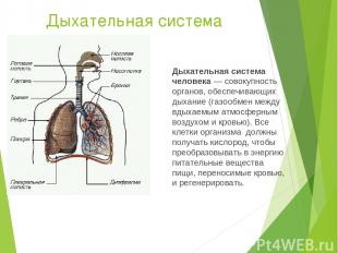 Дыхательная система Дыхательная система человека— совокупность органов, обеспеч