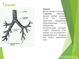 Трахея Трахея Далее воздух поступает втрахею, имеющую форму трубки длиной 10–14