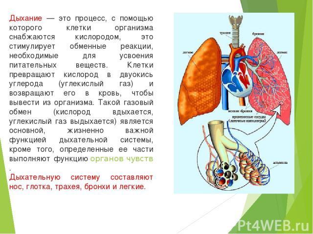 Дыхание — это процесс, с помощью которого клетки организма снабжаются кислородом, это стимулирует обменные реакции, необходимые для усвоения питательных веществ. Клетки превращают кислород в двуокись углерода (углекислый газ) и возвращают его в кров…