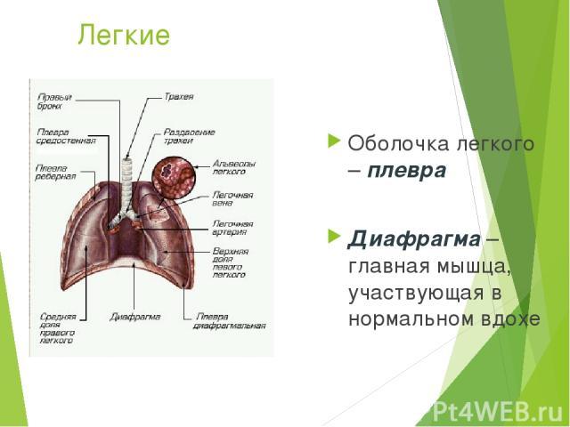 Легкие Оболочка легкого – плевра Диафрагма – главная мышца, участвующая в нормальном вдохе