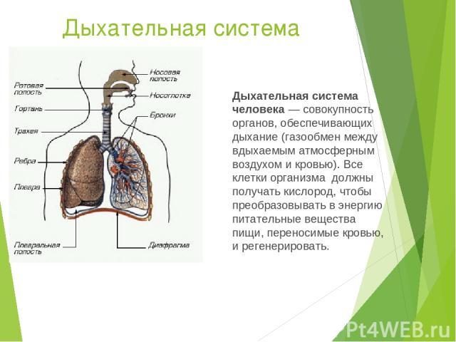 Дыхательная система Дыхательная система человека— совокупность органов, обеспечивающих дыхание (газообмен между вдыхаемым атмосферным воздухом и кровью). Все клетки организма должны получать кислород, чтобы преобразовывать в энергию питательные ве…