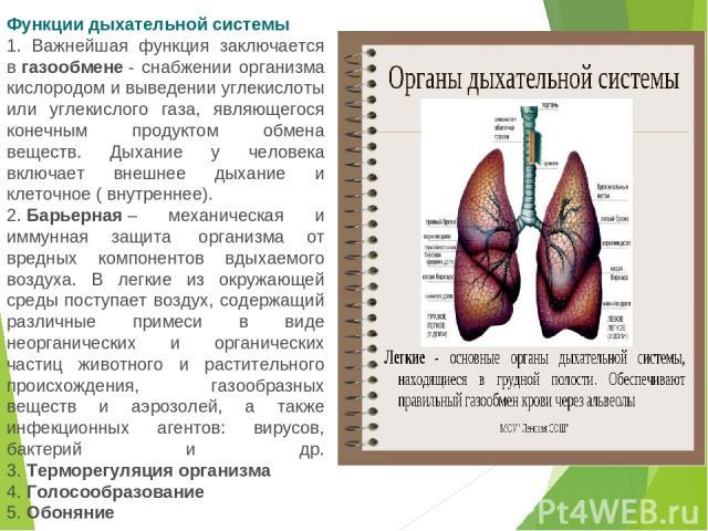 Функции дыхательной системы 1. Важнейшая функция заключается вгазообмене- снабжении организма кислородом и выведении углекислоты или углекислого газа, являющегося конечным продуктом обмена веществ. Дыхание у человека включает внешнее дыхание и кле…