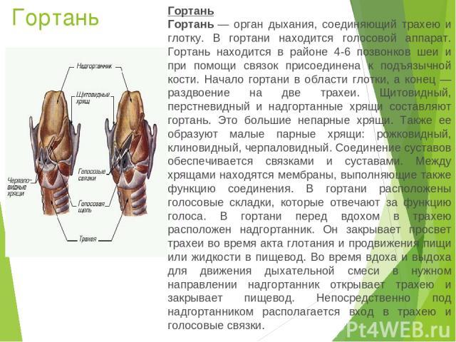 Гортань Гортань Гортань— орган дыхания, соединяющий трахею и глотку. В гортани находится голосовой аппарат. Гортань находится в районе 4-6 позвонков шеи и при помощи связок присоединена к подъязычной кости. Начало гортани в области глотки, а конец …