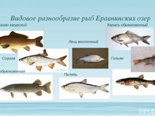 Видовое разнообразие рыб Еравнинских озер Гольян Сорога Карась обыкновенный Саза