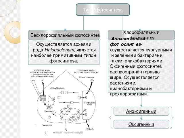 Типы фотосинтеза Бесхлорофилльный фотосинтез Хлорофилльный фотосинтез Оксигенный Аноксигенный ОсуществляетсяархеямиродаHalobacterium, является наиболее примитивным типом фотосинтеза. Аноксигенный фотосинтез-осуществляетсяпурпурнымиизелёными б…