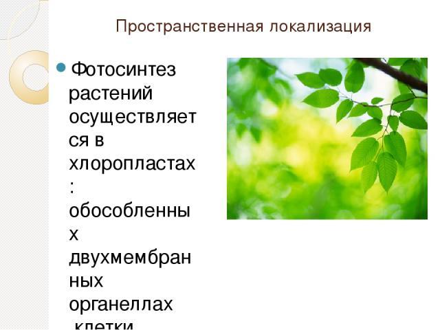 Пространственная локализация Фотосинтез растений осуществляется вхлоропластах: обособленных двухмембранныхорганеллахклетки. Хлоропласты могут быть в клетках плодов,стеблей, однако основным органом фотосинтеза, анатомически приспособленным к его …