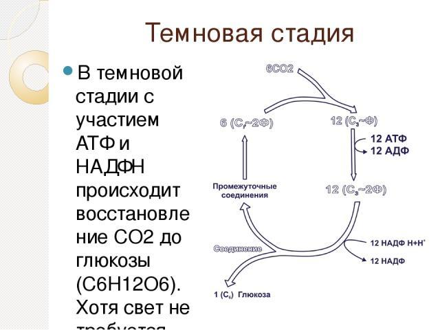 Темновая стадия В темновой стадии с участием АТФ и НАДФН происходит восстановление CO2до глюкозы (C6H12O6). Хотя свет не требуется для осуществления данного процесса, он участвует в его регуляции.
