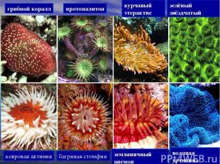 грибной коралл протопалитоя курчавый этерактис зелёный звёздчатый ковровая актин