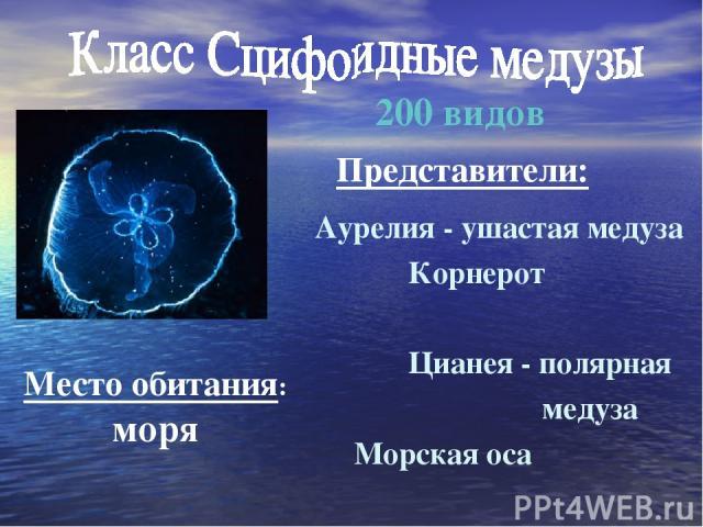 Аурелия - ушастая медуза Корнерот Цианея - полярная медуза Морская оса 200 видов Место обитания: моря Представители: