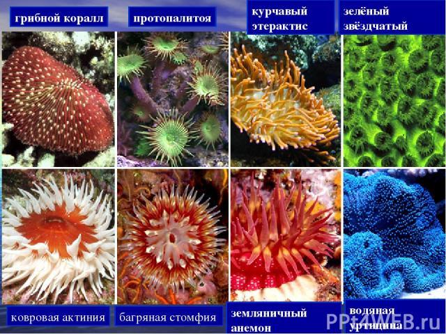 грибной коралл протопалитоя курчавый этерактис зелёный звёздчатый ковровая актиния багряная стомфия земляничный анемон водяная уртицина