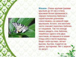 Махаон- Очень крупная (размах крыльев до 10 см) и очень красивая белая (кремовая
