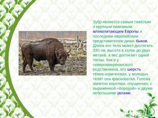 Зубр является самым тяжёлым и крупным наземным млекопитающим Европы и последним
