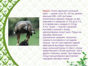 Беркут- Очень крупный и сильный орёл— длина тела 76—93см, размах крыльев 180—2