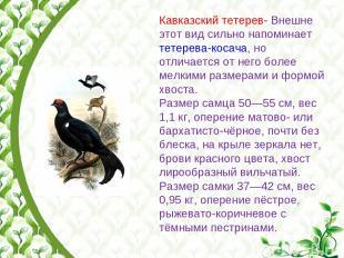 Кавказский тетерев- Внешне этот вид сильно напоминает тетерева-косача, но отлича