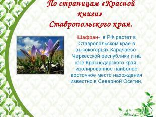 По страницам «Красной книги» Ставропольского края. Шафран- в РФ растет в Ставроп