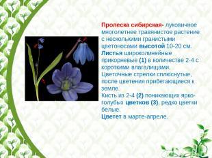 Пролеска сибирская- луковичное многолетнее травянистое растение с несколькими гр