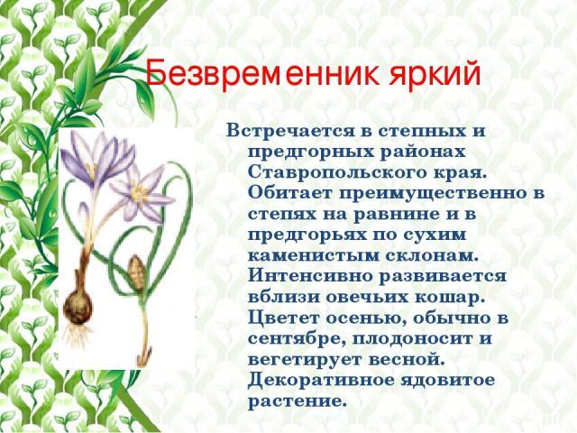 Безвременник яркий Встречается в степных и предгорных районах Ставропольского края. Обитает преимущественно в степях на равнине и в предгорьях по сухим каменистым склонам. Интенсивно развивается вблизи овечьих кошар. Цветет осенью, обычно в сентябре…