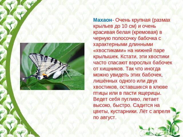 Махаон- Очень крупная (размах крыльев до 10 см) и очень красивая белая (кремовая) в черную полосочку бабочка с характерными длинными «хвостиками» на нижней паре крылышек. Кстати, эти хвостики часто спасают взрослых бабочек от хищников. Так что иногд…