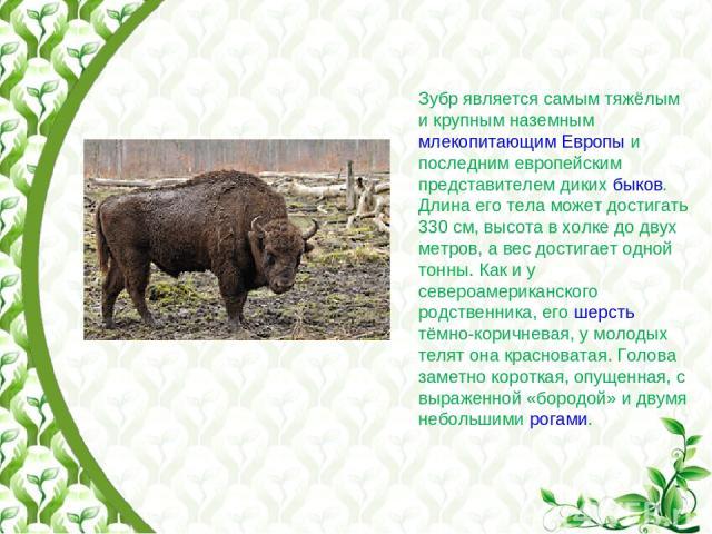 Зубр является самым тяжёлым и крупным наземным млекопитающим Европы и последним европейским представителем диких быков. Длина его тела может достигать 330 см, высота в холке до двух метров, а вес достигает одной тонны. Как и у североамериканского ро…