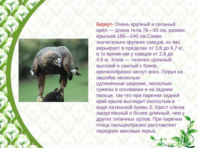 Беркут- Очень крупный и сильный орёл— длина тела 76—93см, размах крыльев 180—240см.Самки значительно крупнее самцов, их вес варьирует в пределах от 3,8 до 6,7кг, в то время как у самцов от 2,8 до 4,6кг. Клюв— типично орлиный: высокий и сжатый …