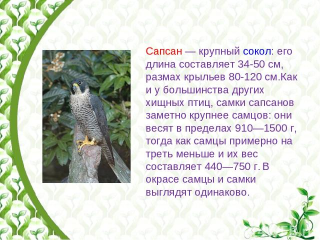 Сапсан— крупный сокол: его длина составляет 34-50см, размах крыльев 80-120см.Как и у большинства других хищных птиц, самки сапсанов заметно крупнее самцов: они весят в пределах 910—1500 г, тогда как самцы примерно на треть меньше и их вес составл…