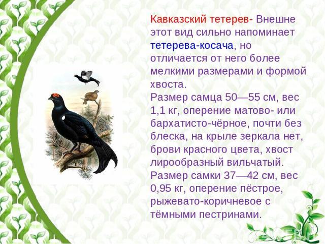 Кавказский тетерев- Внешне этот вид сильно напоминает тетерева-косача, но отличается от него более мелкими размерами и формой хвоста. Размер самца 50—55см, вес 1,1кг, оперение матово- или бархатисто-чёрное, почти без блеска, на крыле зеркала нет, …