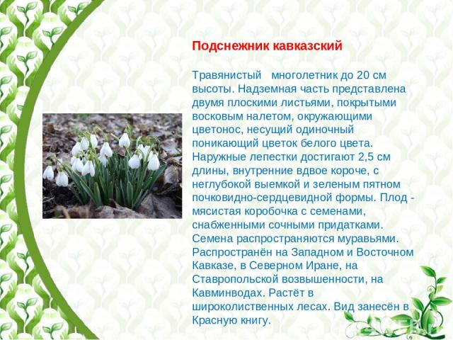 Подснежник кавказский Травянистый многолетник до 20 см высоты. Надземная часть представлена двумя плоскими листьями, покрытыми восковым налетом, окружающими цветонос, несущий одиночный поникающий цветок белого цвета. Наружные лепестки достигают 2,5 …