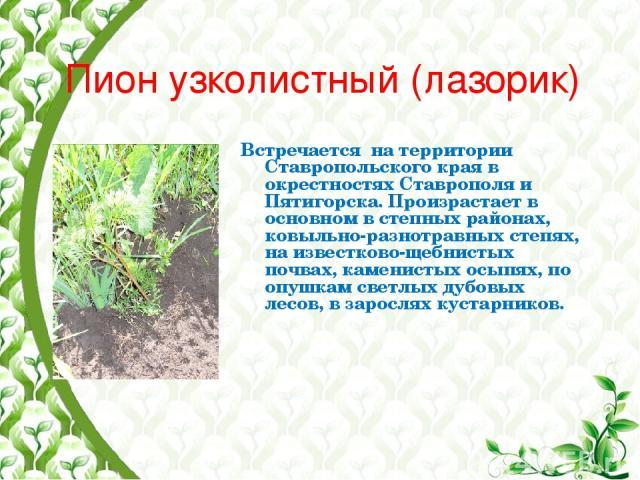 Пион узколистный (лазорик) Встречается на территории Ставропольского края в окрестностях Ставрополя и Пятигорска. Произрастает в основном в степных районах, ковыльно-разнотравных степях, на известково-щебнистых почвах, каменистых осыпях, по опушкам …