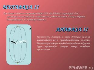 МЕТАФАЗА II При втором делении центромеры ведут себя как двойные структуры. Они