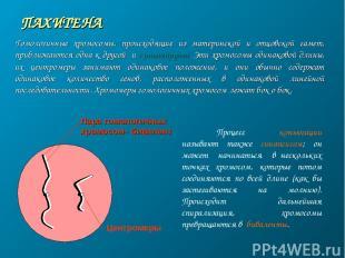ПАХИТЕНА Пара гомологичных хромосом– бивалент Центромеры Гомологичные хромосомы,