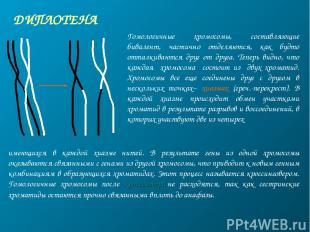 ДИПЛОТЕНА Гомологичные хромосомы, составляющие бивалент, частично отделяются, ка