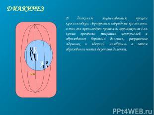 ДИАКИНЕЗ В диакинезе заканчивается процесс кроссинговера, образуются гибридные х