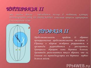 ИНТЕРФАЗА II Эта стадия обычно наблюдается только в животных клетках. РЕПЛИКАЦИИ