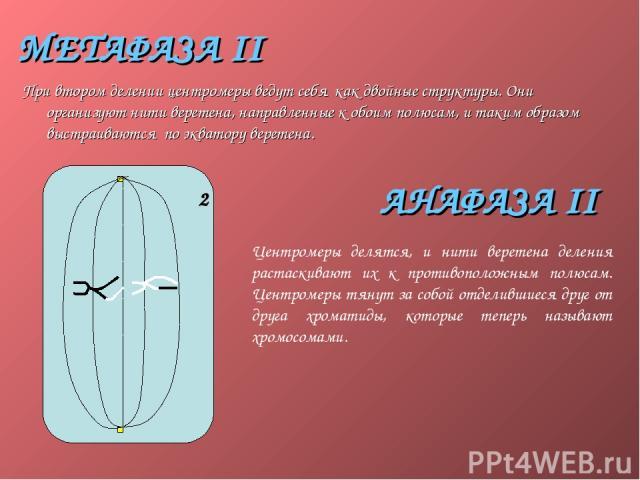 МЕТАФАЗА II При втором делении центромеры ведут себя как двойные структуры. Они организуют нити веретена, направленные к обоим полюсам, и таким образом выстраиваются по экватору веретена. АНАФАЗА II Центромеры делятся, и нити веретена деления растас…