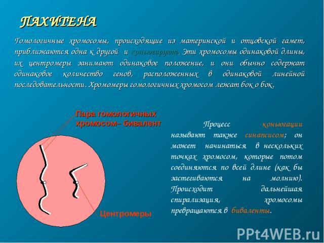ПАХИТЕНА Пара гомологичных хромосом– бивалент Центромеры Гомологичные хромосомы, происходящие из материнской и отцовской гамет, приближаются одна к другой и коньюгируют. Эти хромосомы одинаковой длины, их центромеры занимают одинаковое положение, и …