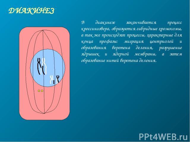 ДИАКИНЕЗ В диакинезе заканчивается процесс кроссинговера, образуются гибридные хромосомы, а так же происходят процессы, характерные для конца профазы: миграция центриолей и образования веретена деления, разрушение ядрышек и ядерной мембраны, а затем…