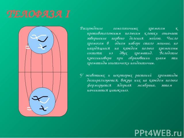 ТЕЛОФАЗА I Расхождение гомологичных хромосом к противоположным полюсам клетки означает завершение первого деления мейоза. Число хромосом в одном наборе стало меньше, но находящиеся на каждом полюсе хромосомы состоят из двух хроматид. Вследстие кросс…