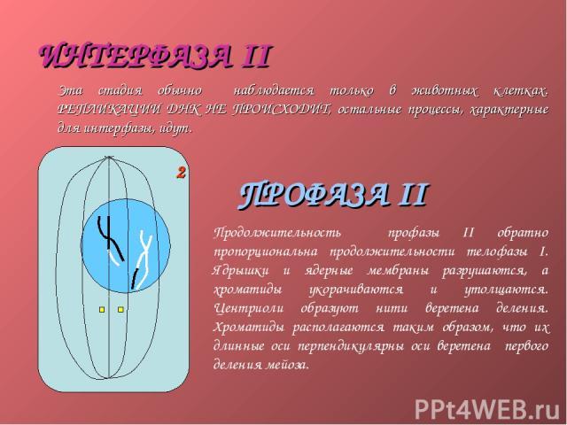 ИНТЕРФАЗА II Эта стадия обычно наблюдается только в животных клетках. РЕПЛИКАЦИИ ДНК НЕ ПРОИСХОДИТ, остальные процессы, характерные для интерфазы, идут. ПРОФАЗА II Продолжительность профазы II обратно пропорциональна продолжительности телофазы I. Яд…