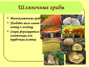 Шляпочные грибы Многоклеточные грибы Плодовое тело имеет ножку и шляпку Споры фо