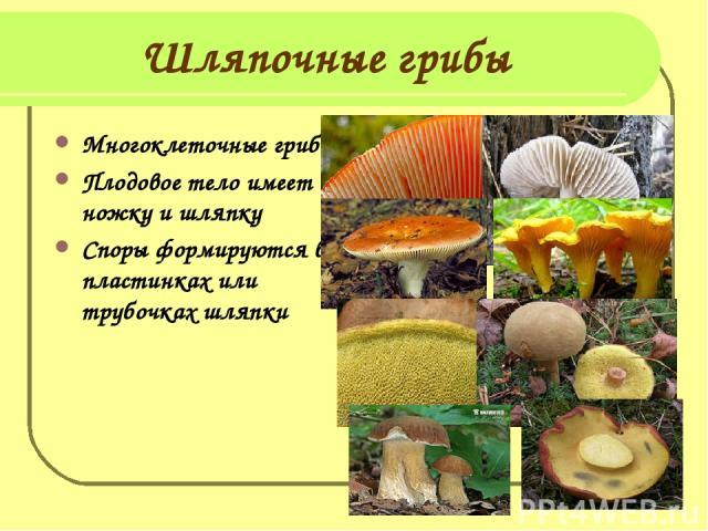 Шляпочные грибы Многоклеточные грибы Плодовое тело имеет ножку и шляпку Споры формируются в пластинках или трубочках шляпки