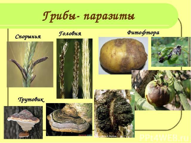 Грибы- паразиты Спорынья Головня Фитофтора Трутовик
