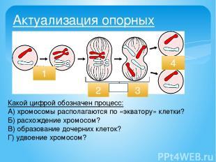 Актуализация опорных знаний: 1. Как происходит деление клетки? 1 2 4 Какой цифро