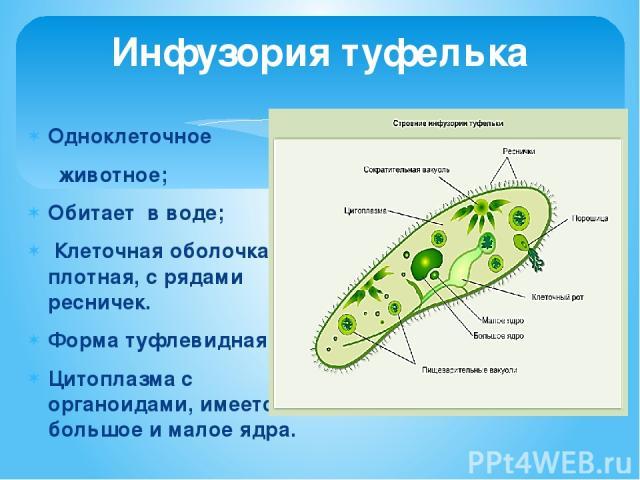 Инфузория туфелька Одноклеточное животное; Обитает в воде; Клеточная оболочка плотная, с рядами ресничек. Форма туфлевидная; Цитоплазма с органоидами, имеется большое и малое ядра.