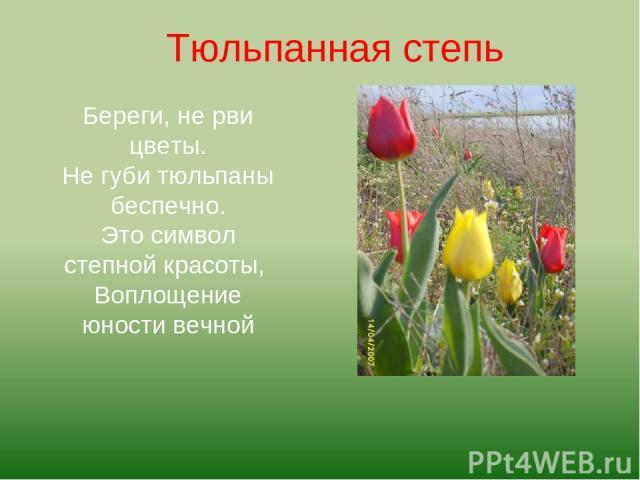 Береги, не рви цветы. Не губи тюльпаны беспечно. Это символ степной красоты, Воплощение юности вечной Тюльпанная степь