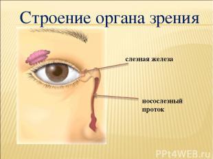 носослезный проток слезная железа Строение органа зрения